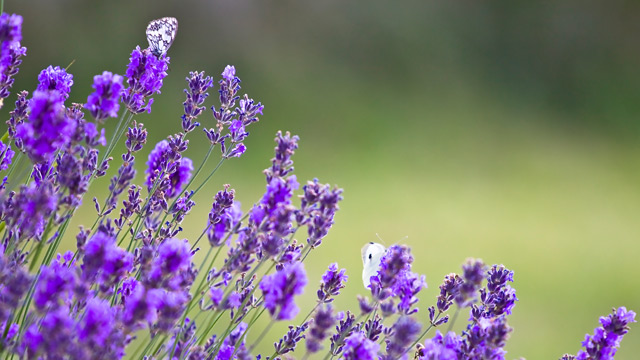 Lavendel im Garten. (Quelle: Thinkstock by Getty-Images)